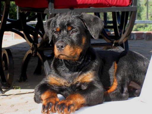 rottie puppies