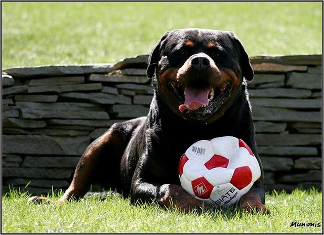 rottweilers puppy