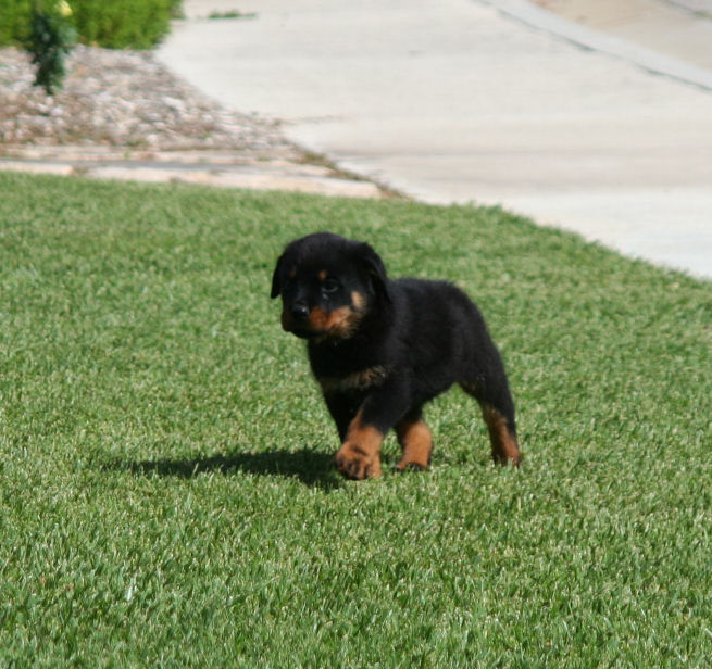 Dog Articles Bone Muscle Power And The Loss Of Rottweiler Type