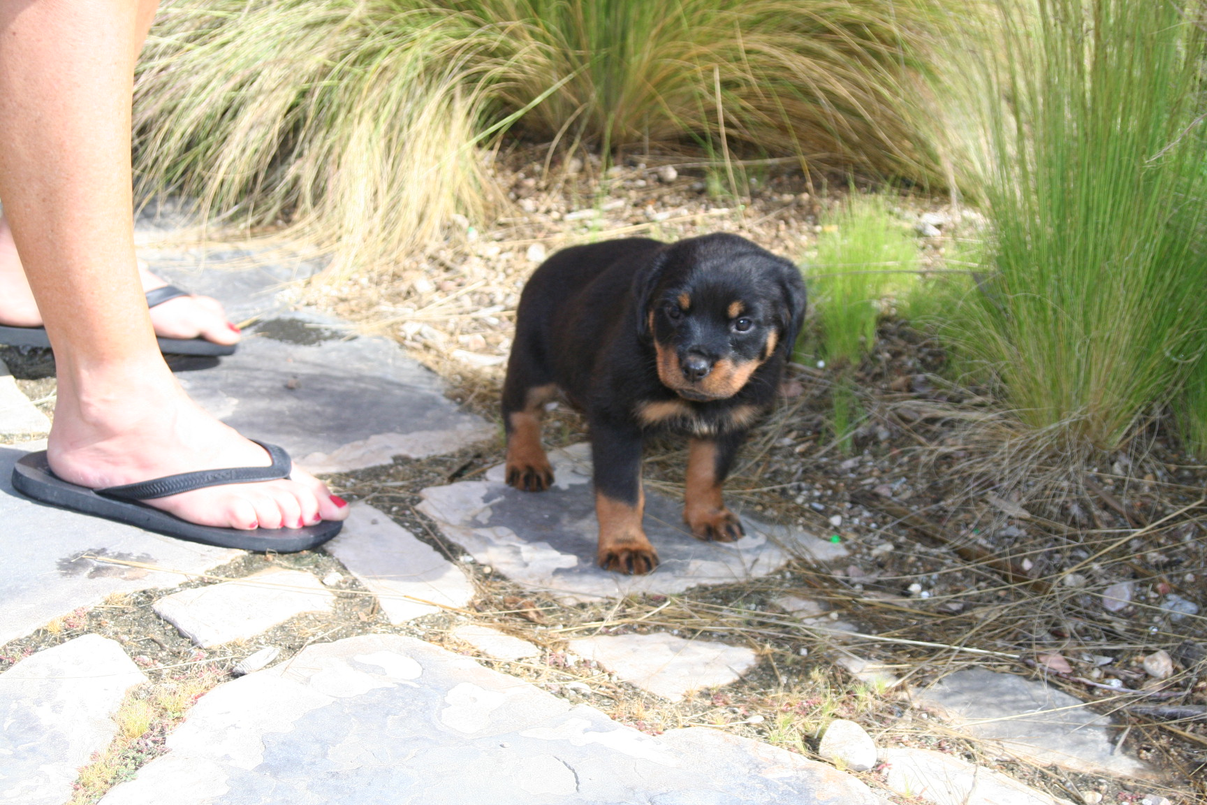 Rottweiler Articles The Zygomatic Arch And Muzzle Correlation Of