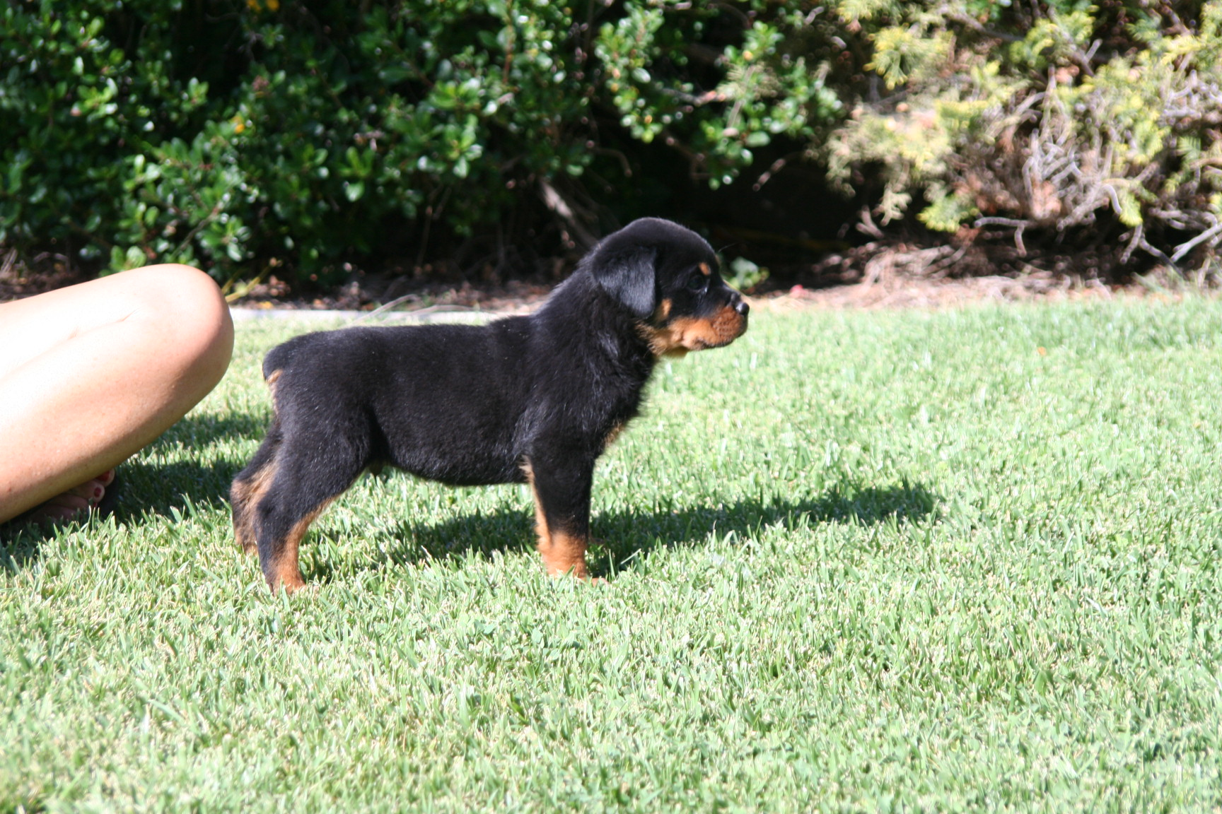 Dog articles bone muscle power and the loss of rottweiler type rottweilers geenschuldenfo Choice Image