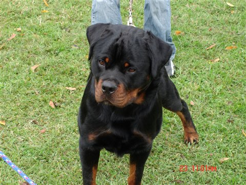 What Is The Difference Between The German Rottweiler And The