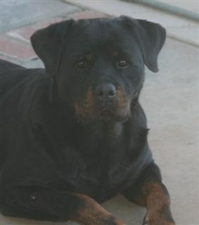 rotties puppies for sale