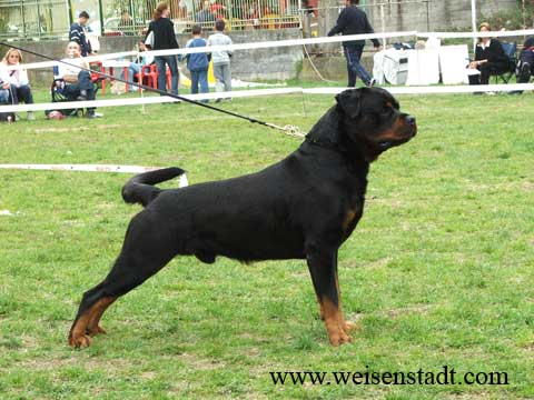 rottweilers california